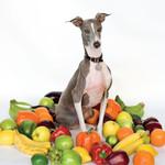Excellent Italian Greyhound Shellac